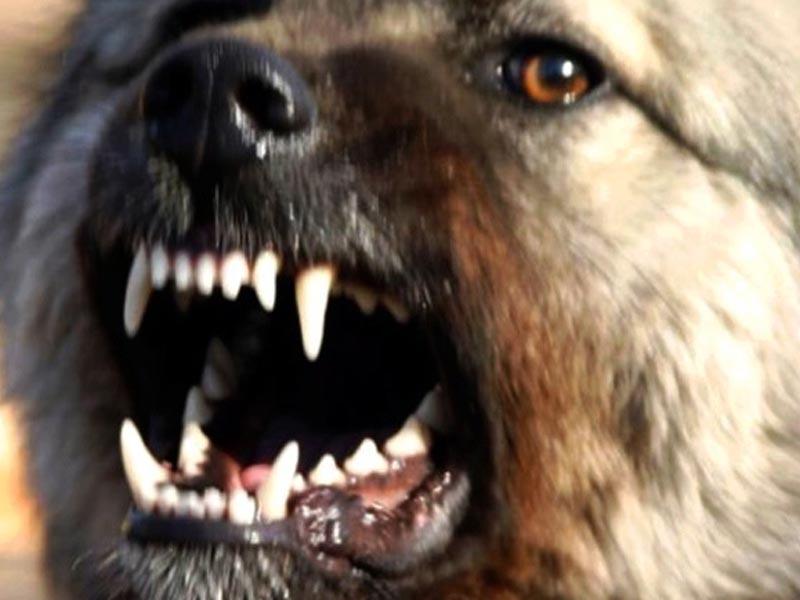 Жители Астрахани продолжают жаловаться на агрессивных собак в спальных районах